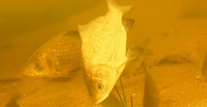 что такое рыба мегарыбак