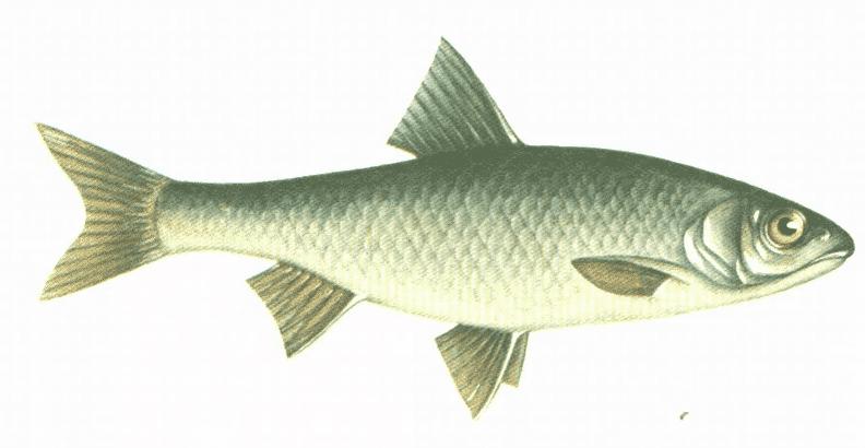 рыба елец описание где обитает чем питается