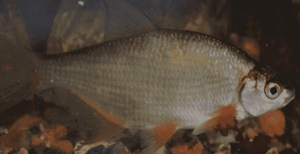 Рыба Густера фото и описание