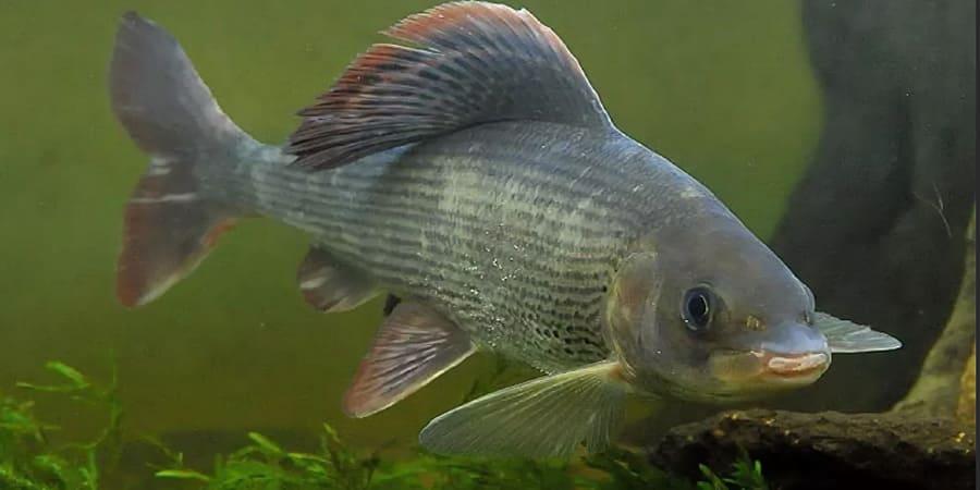 рыба хариус фото и описание