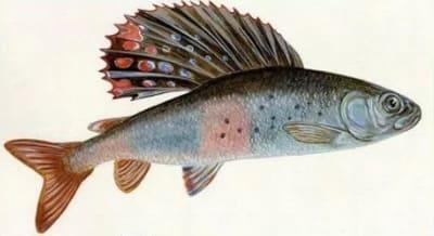 рыба хариус фото и описание сибирский хариус
