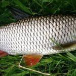 Рыба голавль фото и описание. Советы по ловле.