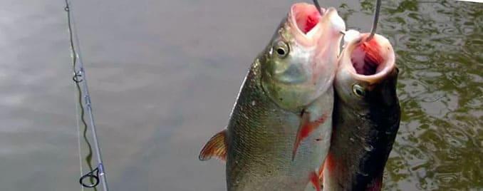 как сохранить рыбу летом