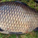 Рыбалка на карася: поведение и места ловли