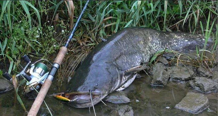 Рыбалка на сома: непростая рыбалка