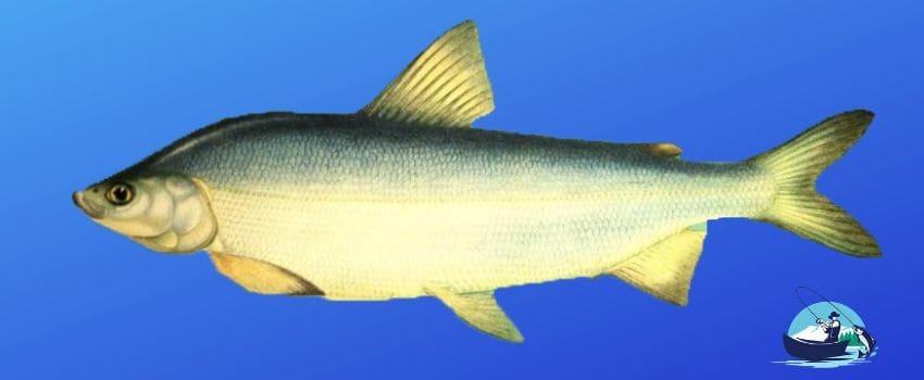 Рыба муксун фото и описание