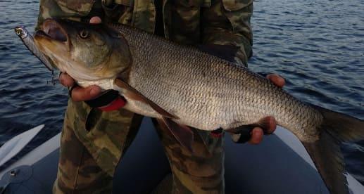 Рыба жерех фото и описание