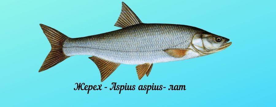 жерех рыба описание и фото