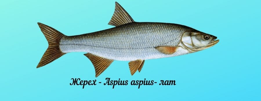 Рыба жерех фото и описание, места обитания