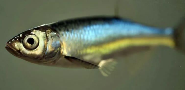Уклейка рыба. Способы ловли, снасти, прикормка