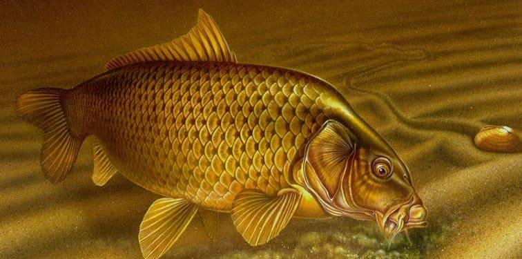 Рыба карп фото и описание, интересные факты.