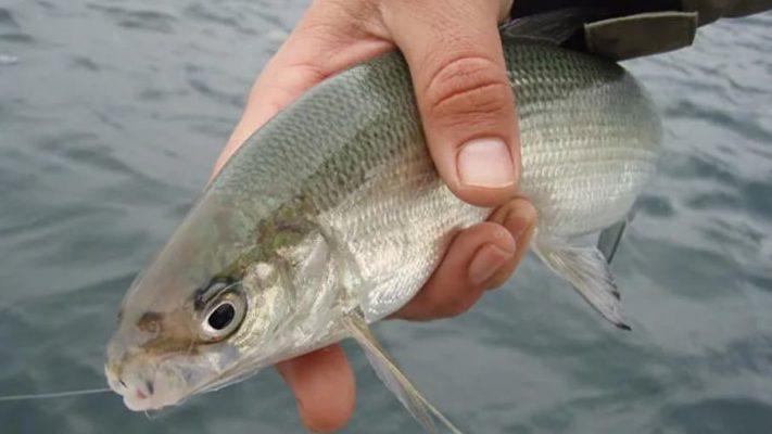 Рыба сиг: описание, фото. Где обитает
