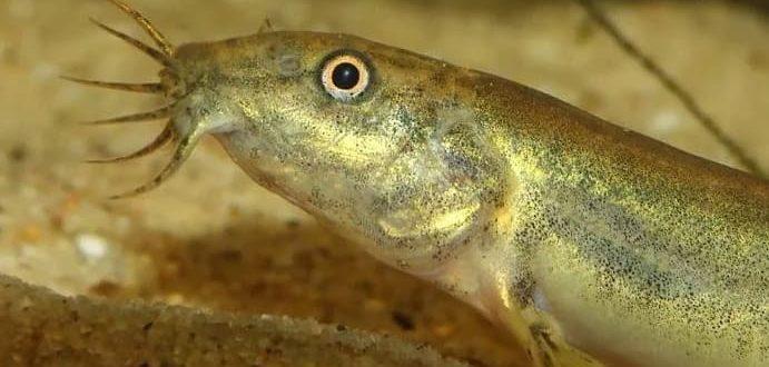 Рыба вьюн. Фото, описание, где водится.
