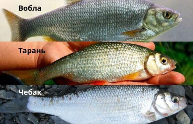 Разновидности рыбы плотва