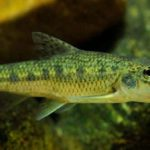 Описание рыбы пескарь с фото