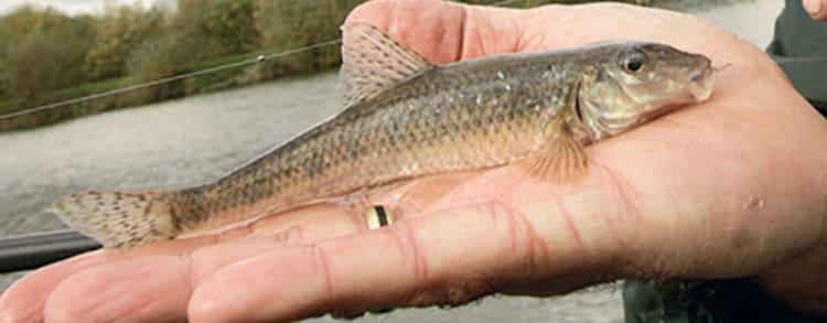 Рыба пескарь, фото и описание