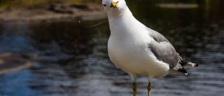 где зимуют чайки