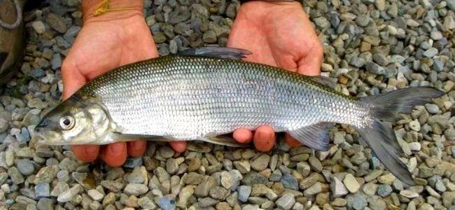 Рыба сиг фото и описание